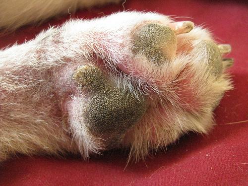 У собаки воспаление межпальцевой железы как лечить