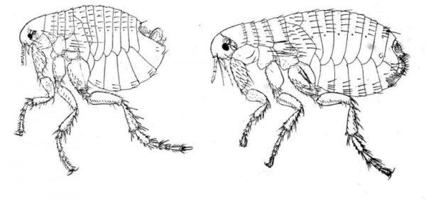 блоха Pulex hominis s. irritans