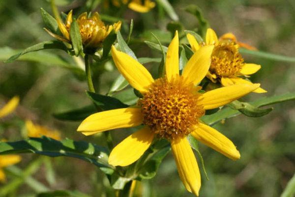 цветки череды