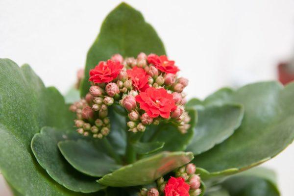 каланхоэ цветок и листья