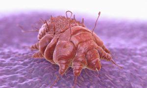 клещ чесоточный под микроскопом